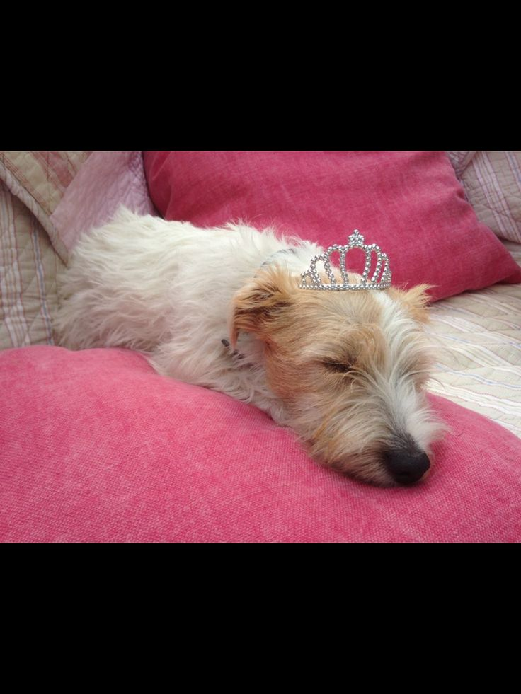 Dolly 7 months  Sporting Lucas Terrier