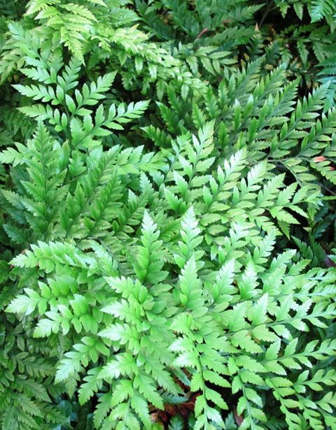 rumohra adiantiformis/ leatherleaf fern