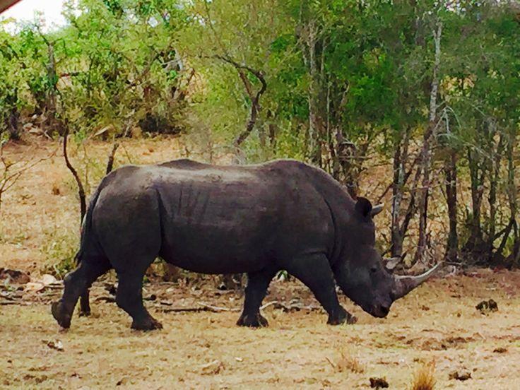 Rhino in Mjejane Kruger Park