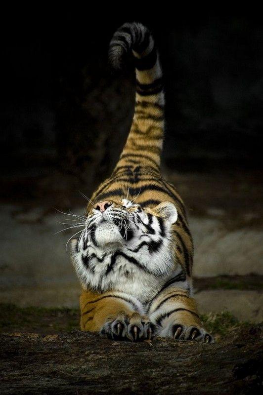 stretchBig Cat, Cat Photography, Kitty Cat, Mornings Yoga, Pets, Stretch,  Panthera Tigri, Tigers, Animal