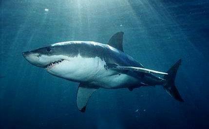 Žralok velký bílí