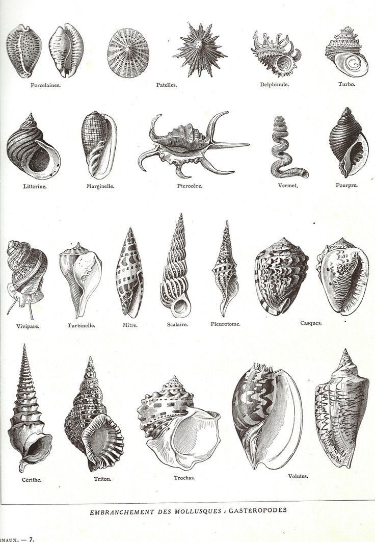 17 best ideas about shell drawing on pinterest seashell drawings sea art and ink pen drawings - Dessin coquillage ...