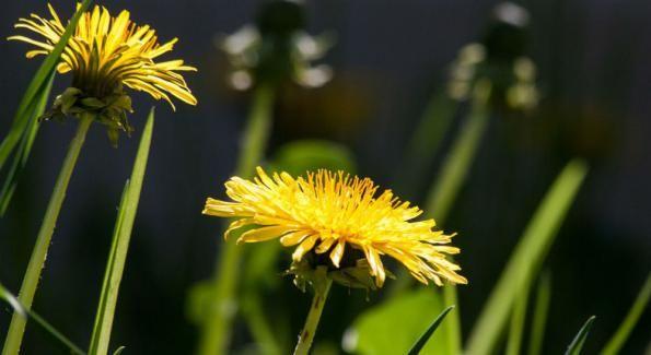 Le pissenlit, profitez de ses bienfaits au printemps - Frantsila. Considérée comme une mauvaise herbe, le pissenlit est une fleur jaune qui se trouve dans les prés et pâturages. Victime des désherbants en tout genre, c'est pourtant une plante qui a bien des vertus pour la santé...