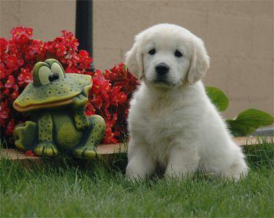 Imagen de un perro golden retriever
