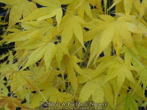 Acer palmatum 'Ukon' Yellow Coral Bark Japanese Maple a small deciduous tree with light green leaves turning to bright yellow in fall. The outstanding feature reveals itself in winter when twigs and b