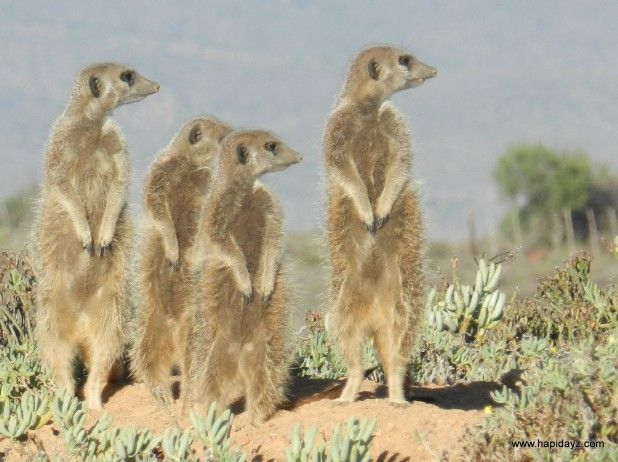 Always been fascinated by #meerkats. Rather jealous of Cynthia that she has now seen them in the wild.