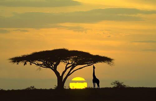 africa panorama   Serengeti National Park , Tanzania . Giraffe and acacia tree at ...