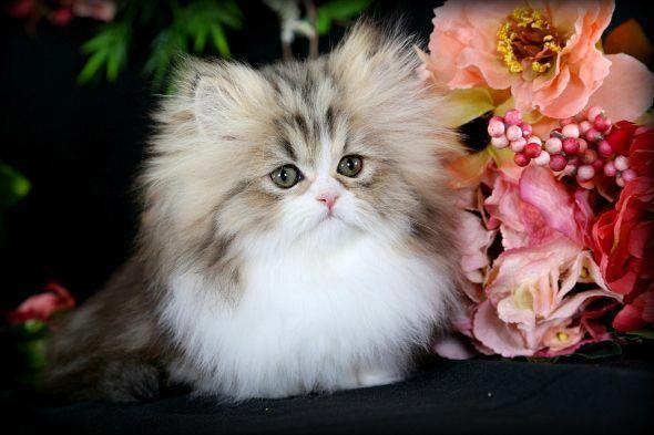 Teacup Rug Hugger Kitten Catwiki
