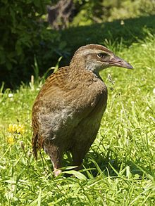 The Weka or woodhen (Gallirallus australis) is a flightless bird species of the rail family. It is endemic to New Zealand, where four subspecies are recognized. Weka are sturdy brown birds, about the size of a chicken