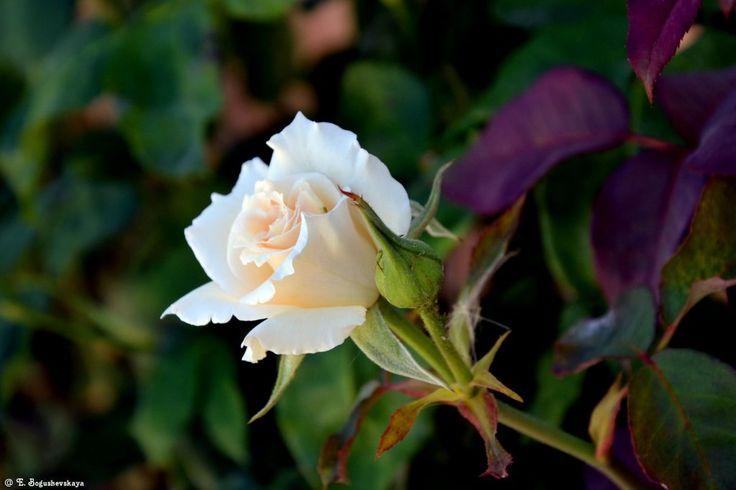 Распустившийся бутон белой розы