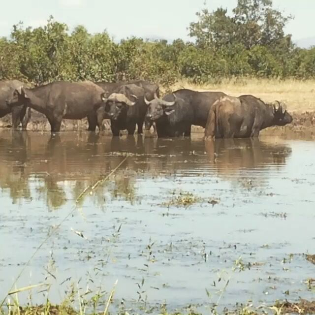 Buffalo herd at a waterhole in the Kruger National Park