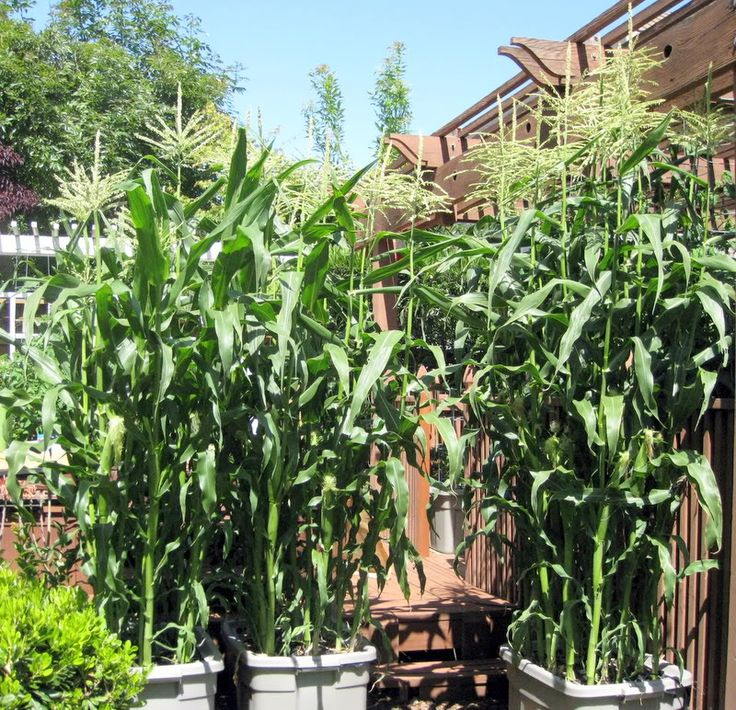 Grow corn in a container | Small scale agriculture | Pinterest