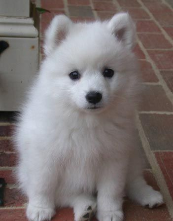 German Spitz Puppy.  What my dog must have looked like as a puppy.