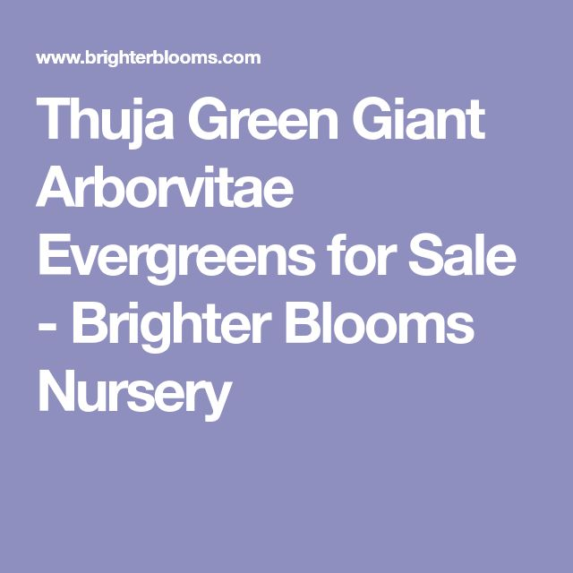 Thuja Green Giant Arborvitae Evergreens for Sale - Brighter Blooms Nursery