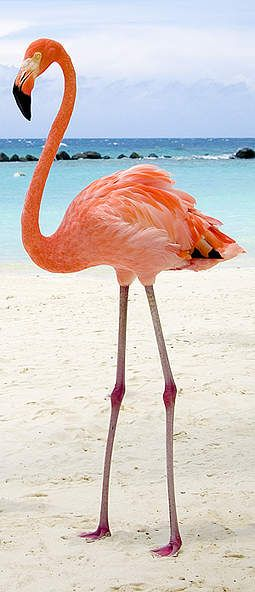 Flamingo Turks and Caicos                                                       …
