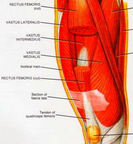 11 best massage styles myofascial release images on pinterest iliotibial band muscle group picture used from principles of anatomy and physiology sixth edition tortora and n published by harper row 1990 fandeluxe Image collections