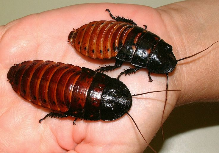 The Madagascar hissing cockroach (Gromphadorhina portentosa), also known as the hissing cockroach or simply hisser. Male & Female. They feed mainly on vegetables.
