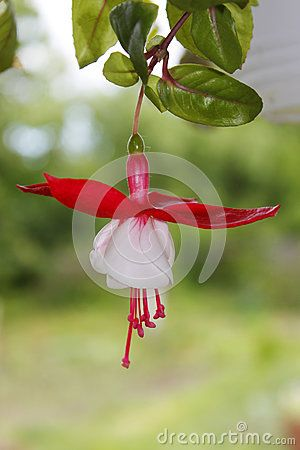 Very beautiful decorative tropical flower with white petals and red sepals,  named Fuchsia Hybrida. Te plant is in sharp focus while the green background is very blurred.