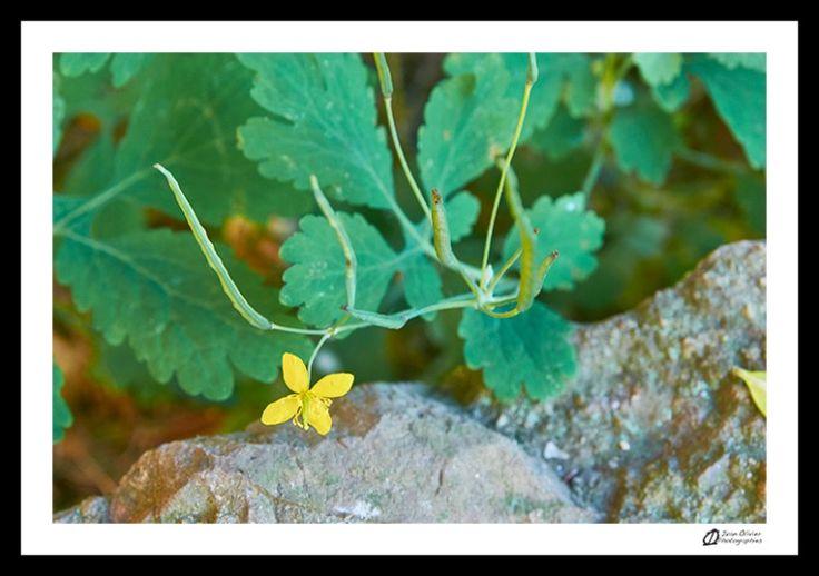 Cueillette au pied des voies: Chélidoine – Chelidonium majus