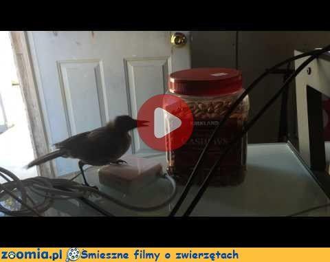 Migdały i ptak Śmieszne Filmy Inne zwierzęta http://Zoomia.pl