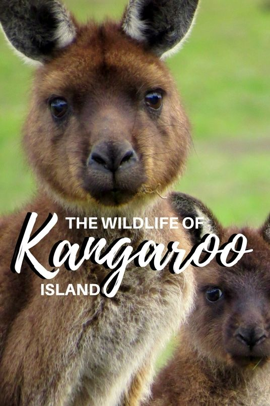 A #travel guide to #Kangaroo Island #Australia - with incredible landscapes an a huge amount of iconic wildlife.