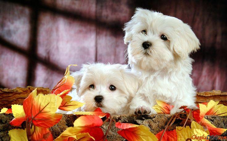 Beautiful snow-white photo dog breed Maltese.