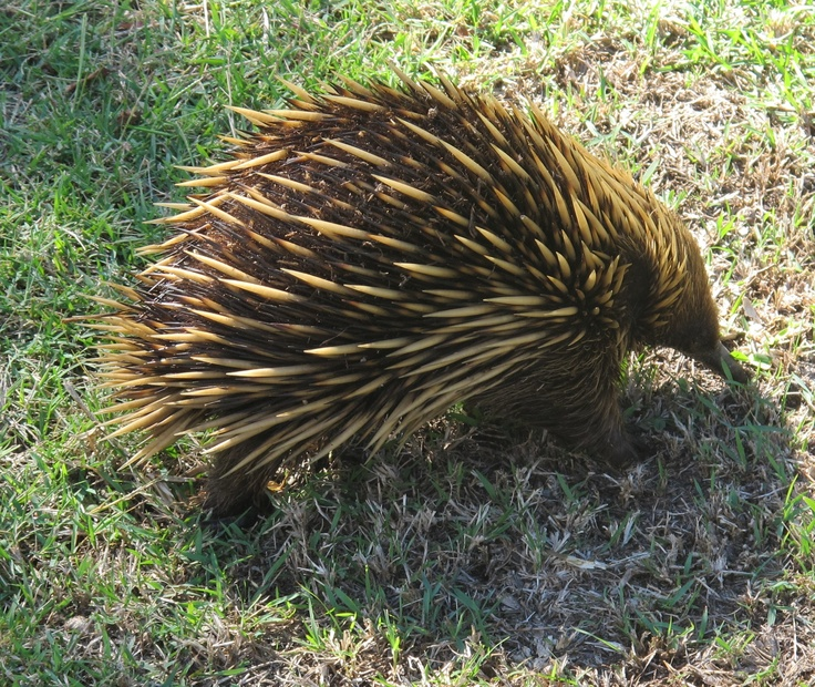 A North Head echidna, Tachyglossus aculeatus, North Head, Sydney.  This is a juvenile, about 9 months old.