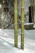 Phyllostachys nigra 'Boryana' - it grows in France, Germany, Schwitzerland, etc.