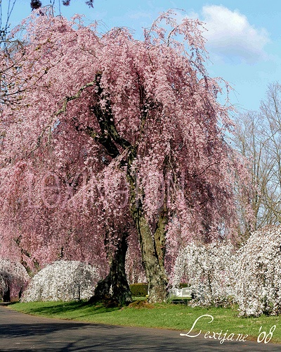 My dream is to one day have one of these in my yard again. *nostalgic about weeping cherry trees