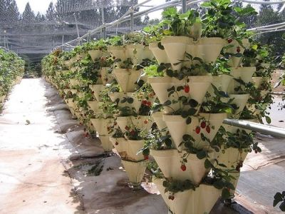 Hydroponic Strawberry Towers