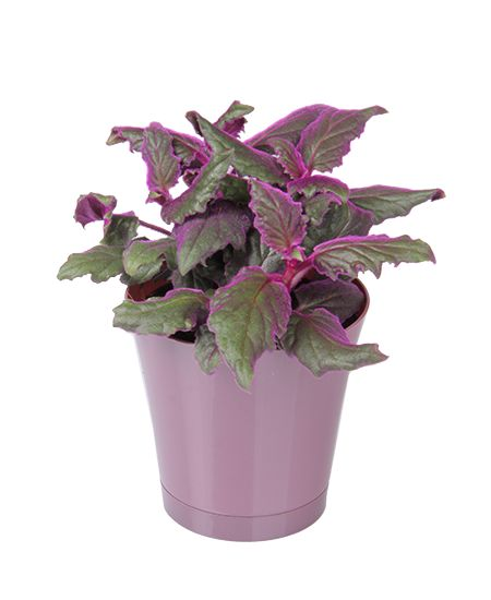purple passion is a unique houseplant with gorgeous fuzzy purple leaves learn how to grow this beautiful tropical indoor plant
