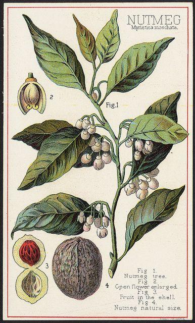 Nutmeg, Myristica moschata [front] by Boston Public Library, via Flickr