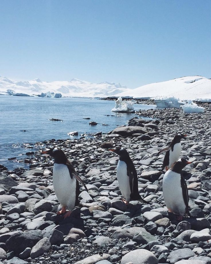 Beach penguins!  || Antarctica travel throwback , to that perfect Antarctic summer day on Cuverville island. ✨  #Regram via @blackdotswhitespots