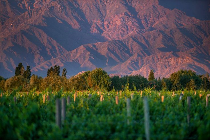 Malbec red wine grapes growing in the Uco Valley near Mendoza, Argentina.