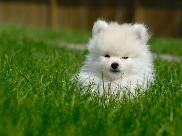 Flauschiger Zwergspitz: Ein süßer kleiner Familienhund