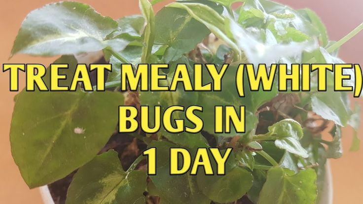 how to treat mealy bug in plants