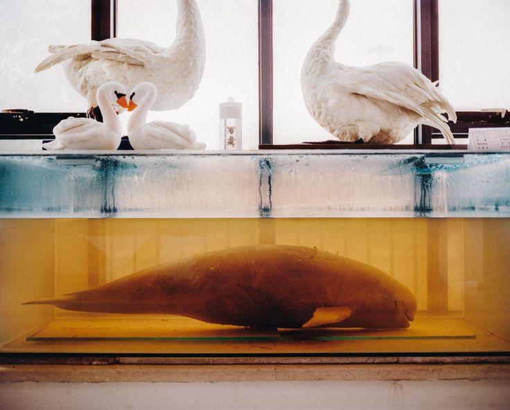 A veszélyeztetett Rücskösfarkú Disznódelfin formaldehidben, Hubei Province, China, 2015.