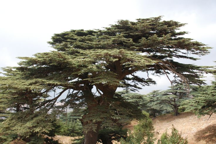 Cedars of Barouk, Lebanon | The Cedrus libani forest communi… | Flickr - Photo Sharing!
