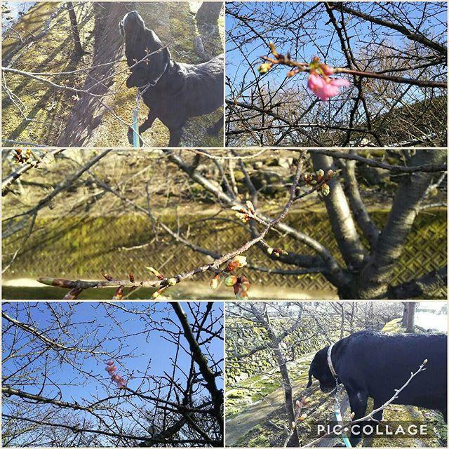 【yoshimi_ike】さんのInstagramをピンしています。 《今日暖かい೨̣̥*♪ 写真撮ってたら、カイさん横で桜の枝をかじり始めた😨 頼むからやめてくれ(¯―¯٥) 桜🌸ボケてるし…  #カイ#カイ君#黒ラブ#ラブラドール#ラブラドールレトリバー#散歩大好き#御殿場#時之栖#桜#かじるな#食べるな》