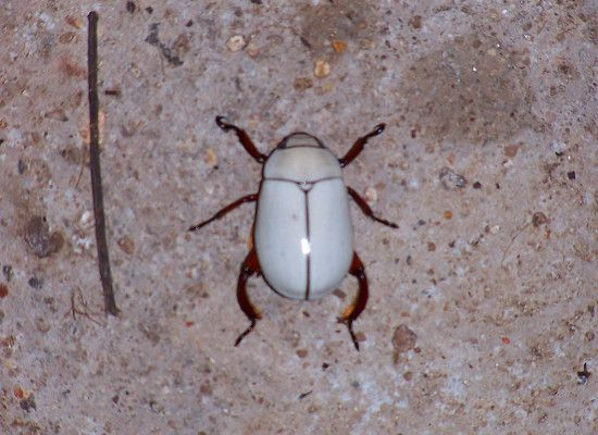6 White Beetle Bug
