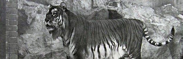 EXTINCT TIGER SPECIES -- The BALINESE TIGER became extinct in 1937 (lived on Bali) they were very small tigers and their extinction was due to being hunted in large numbers. CASPIAN TIGER- became extinct in 1970s