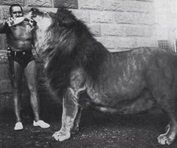 Simba the Barbary Lion. | Interesting Pictures ...