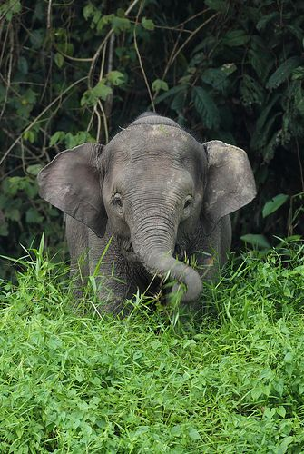 """Young Borneo Pygmy Elephant"" - photo by Daniel Trim, via Flickr;  in Sabah, Malaysia"