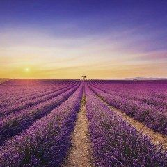 南フランスプロヴァンス地方のラベンダー畑が絶景 見渡す限り一面に広がる紫の絨毯は圧巻 北海道にもラベンダー畑はありますがここはスケールが違います() 一度は見てみたい絶景です tags[海外]