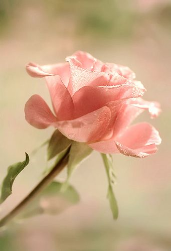 Blushing beauty by Mandy Disher Florals, via Flickr