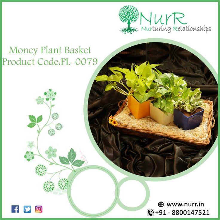 Money Plant Basket Product Code : PL-0079 Three money plants of different color … – Nurturing Relationship