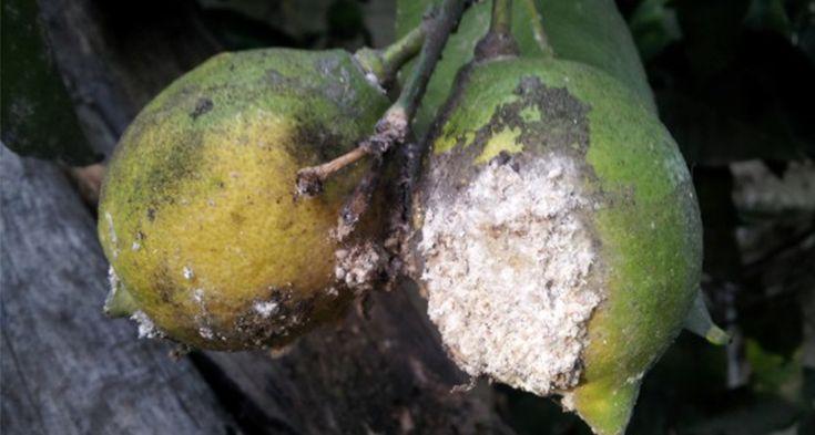 parassiti-limone