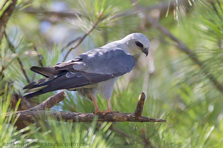 Mississippi Kite at Marion County by Bob Pelkey http://focusingonwildlife.com/news/wildfocus/featured/mississippi-kite-at-marion-county/