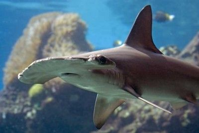Hammerhead Shark Facts For Kids | Hammerhead Shark Diet & Habitat