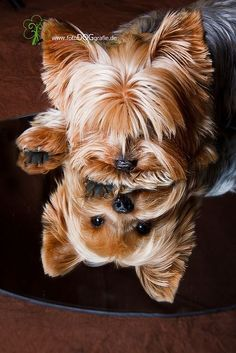 Yorkie reflections....Ohhhh how I wish this was taken of Bessie. maybe you could do something like this for McKale of Holly